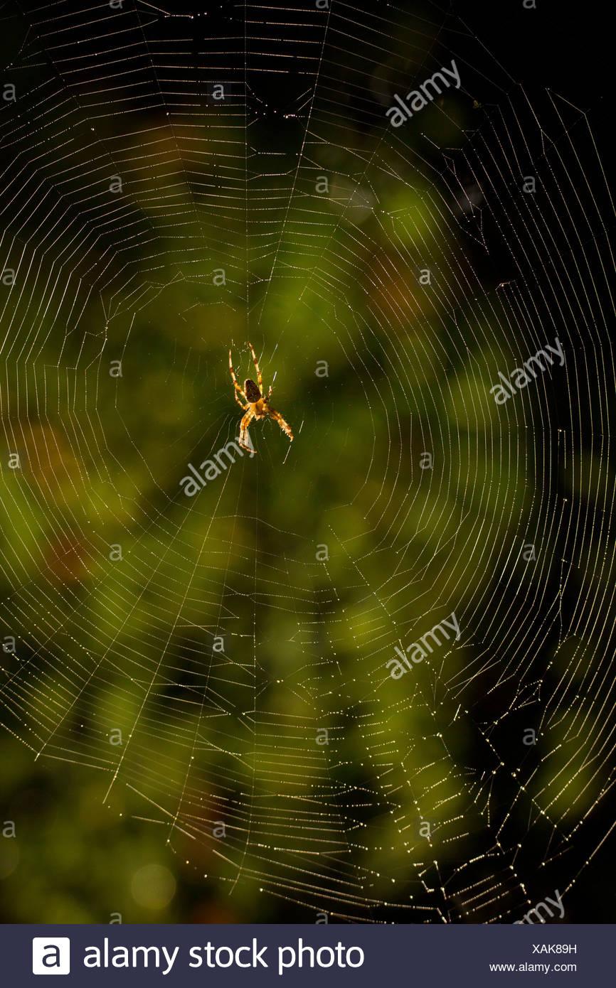cross orbweaver, European garden spider, cross spider (Araneus diadematus), sitting in the net, Germany, Bayern - Stock Image