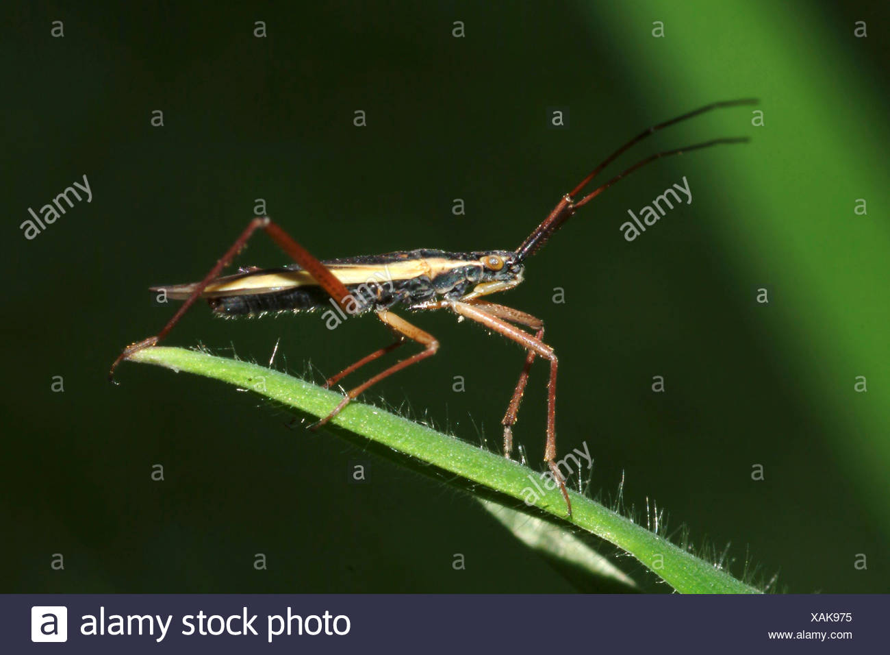 capsid bug (Notostira spec.), sitting on a leaf, Germany - Stock Image