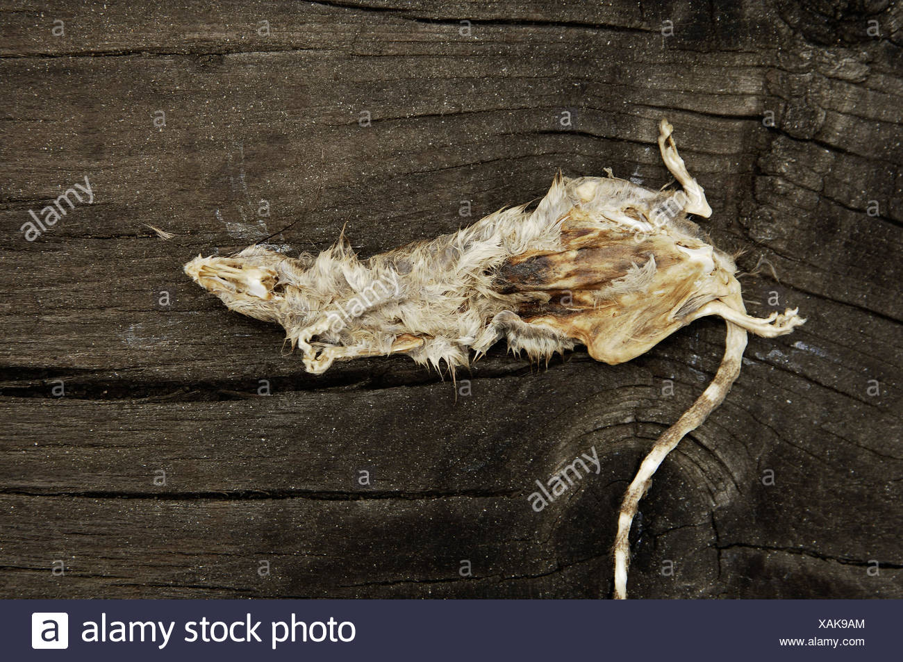 Rat, poisons, rodents, animal, mammal, deadly, death, expiration, sepsis, rot, disgust, rat's pest, pest, vermin, - Stock Image