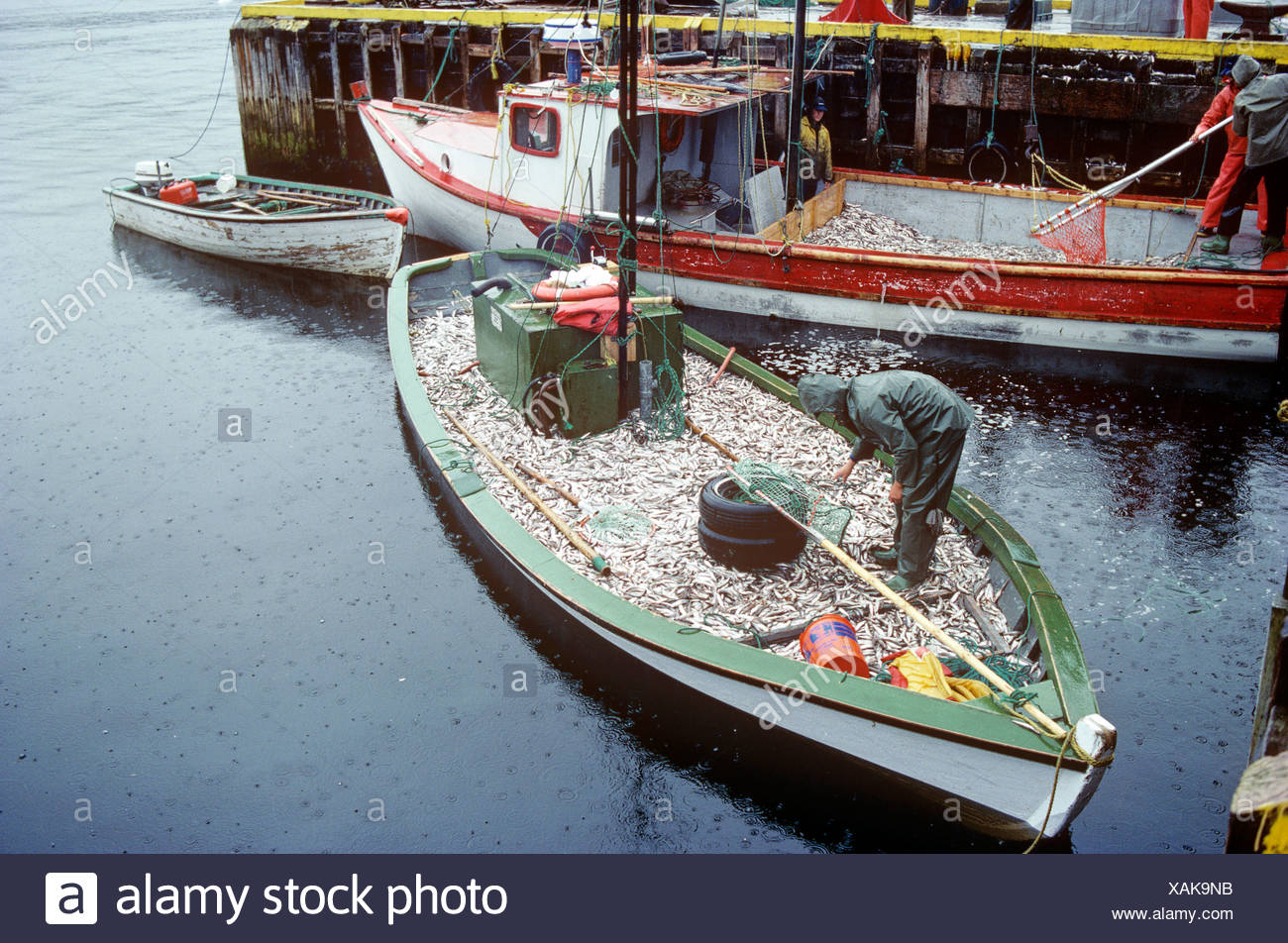 Boat loaded with, capelin, Cape Broyle, Newfoundland, Canada  Commercial Fishery - Stock Image