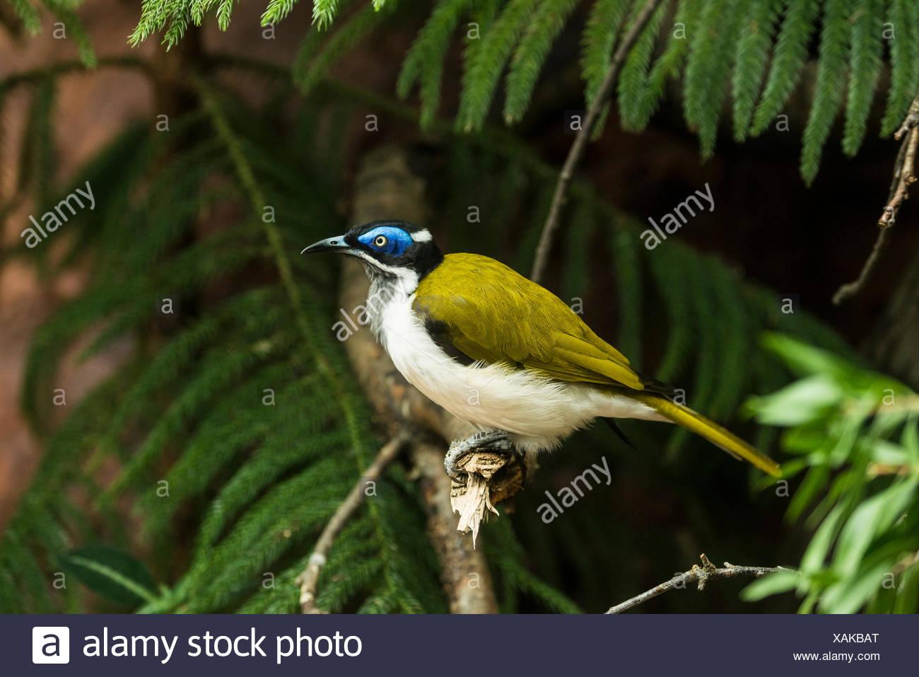 blue faced honeyeater, Entomyzon cyanotis, honeyeater, bird - Stock Image