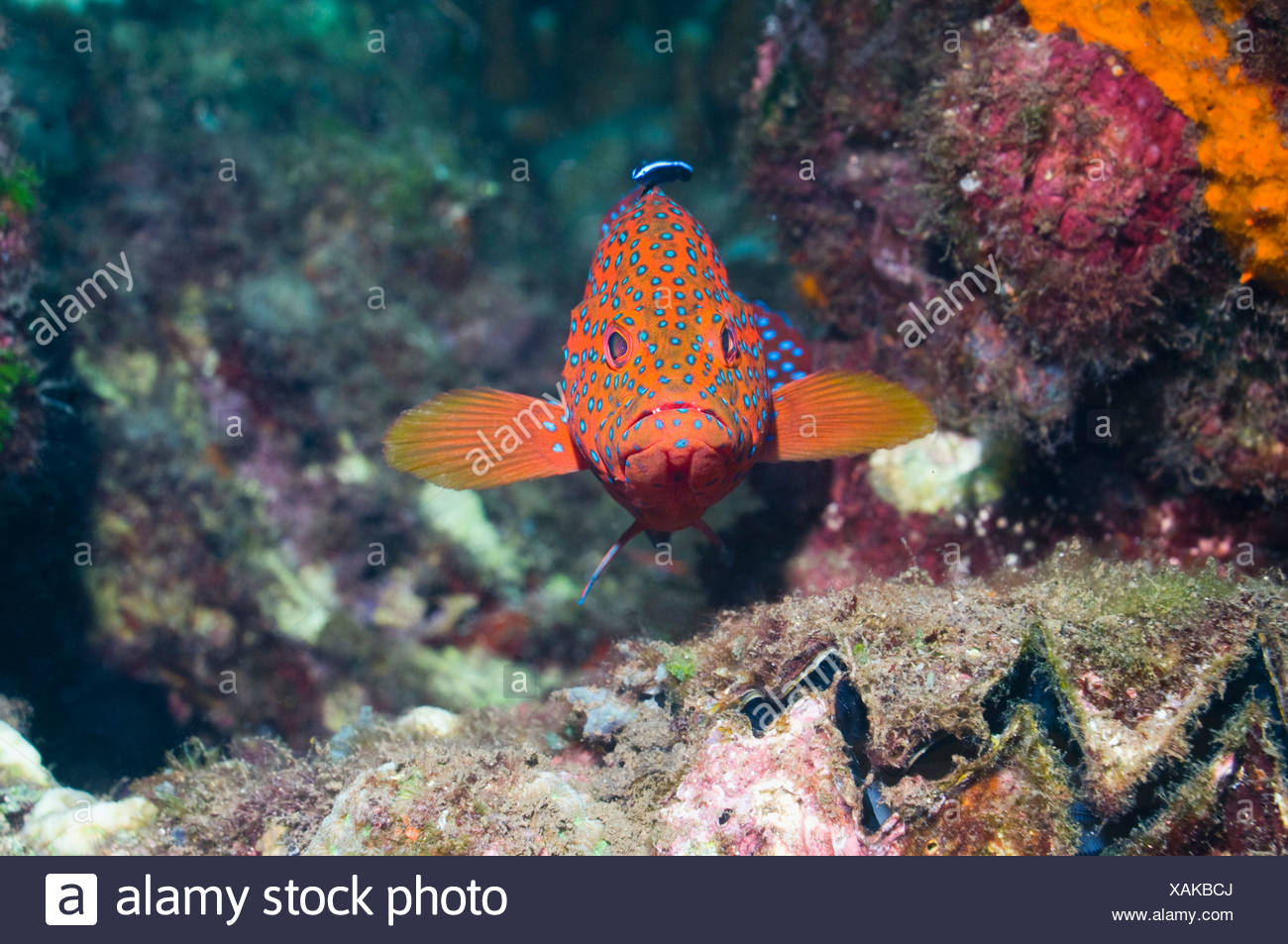 Coral hind with a Bluestreak cleaner, Solomon Islands. - Stock Image