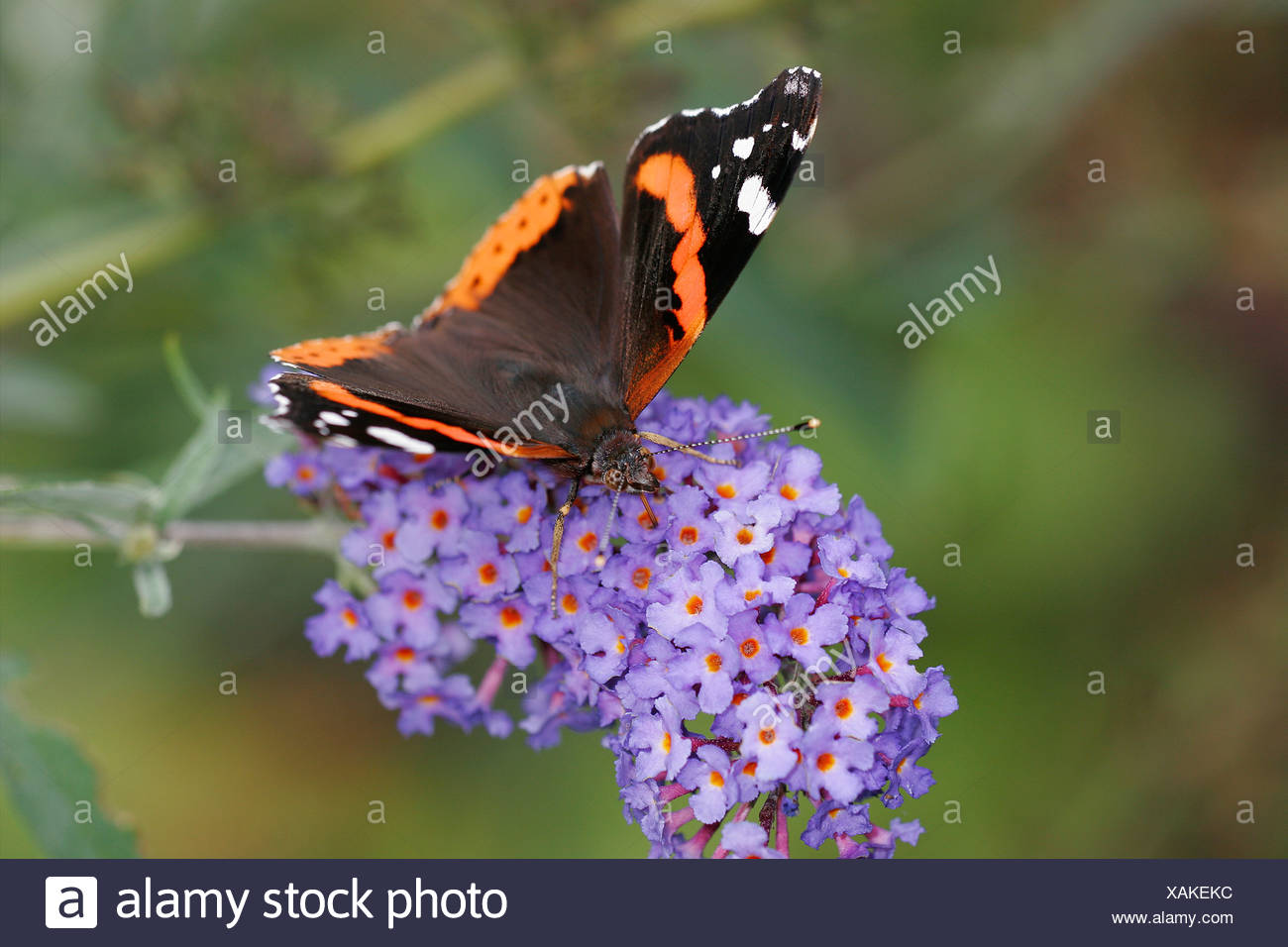 Admiral Butterfly - Stock Image