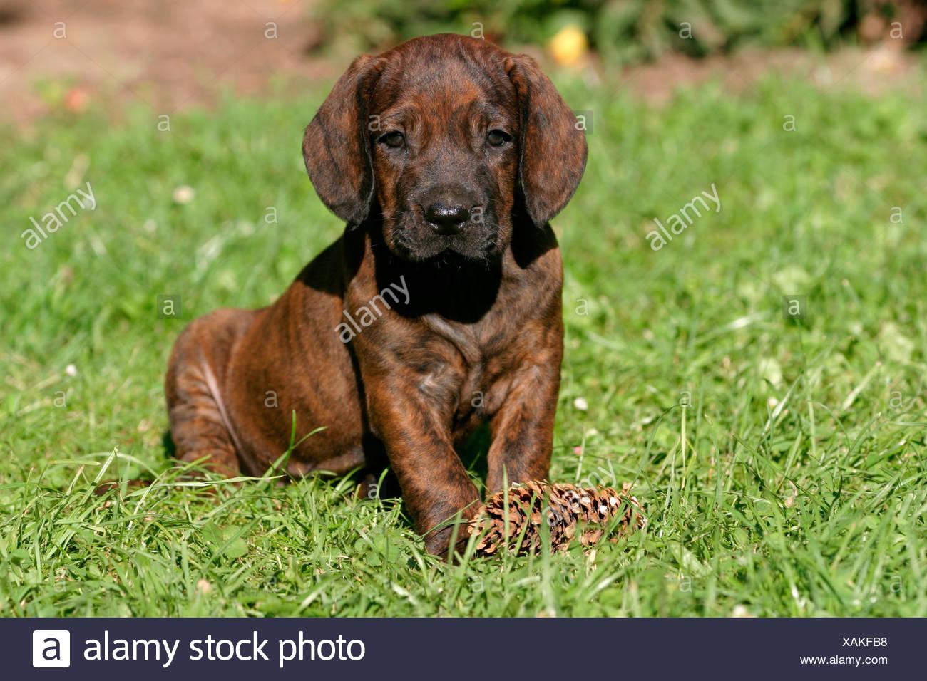 Hannoverscher Schweisshund Welpe Puppy Stock Photo 281941612 Alamy