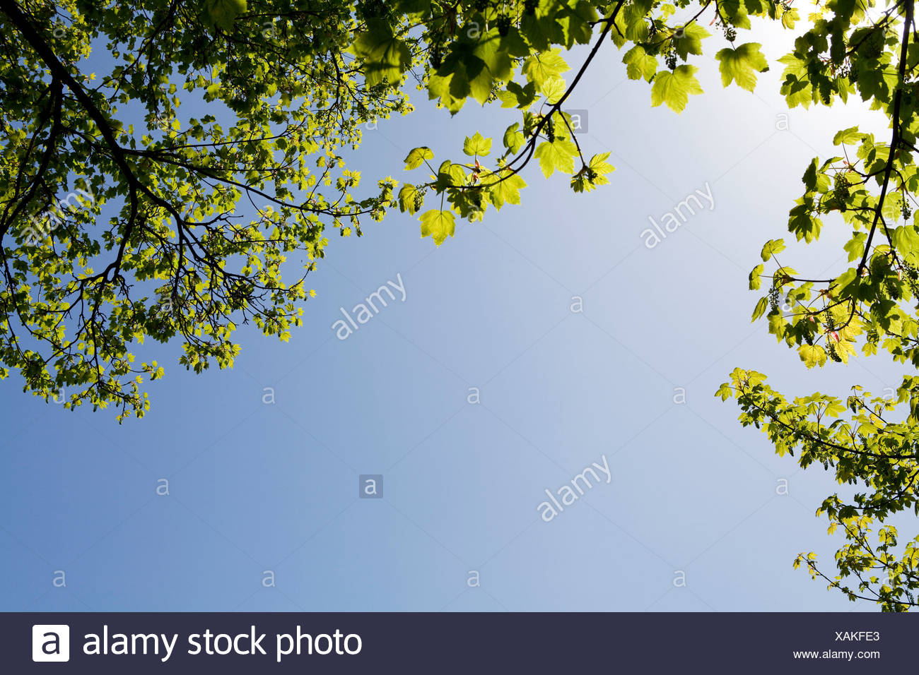 Maple leaves on hot summer day - Stock Image
