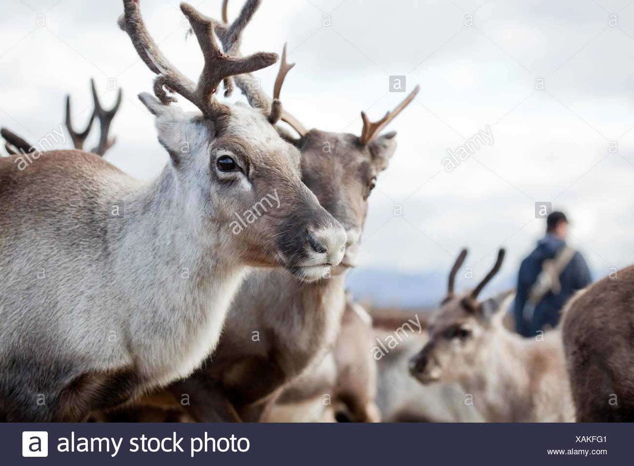Sweden, Lapland, Levas, Portrait of reindeer (Rangifer tarandus) in herd Stock Photo