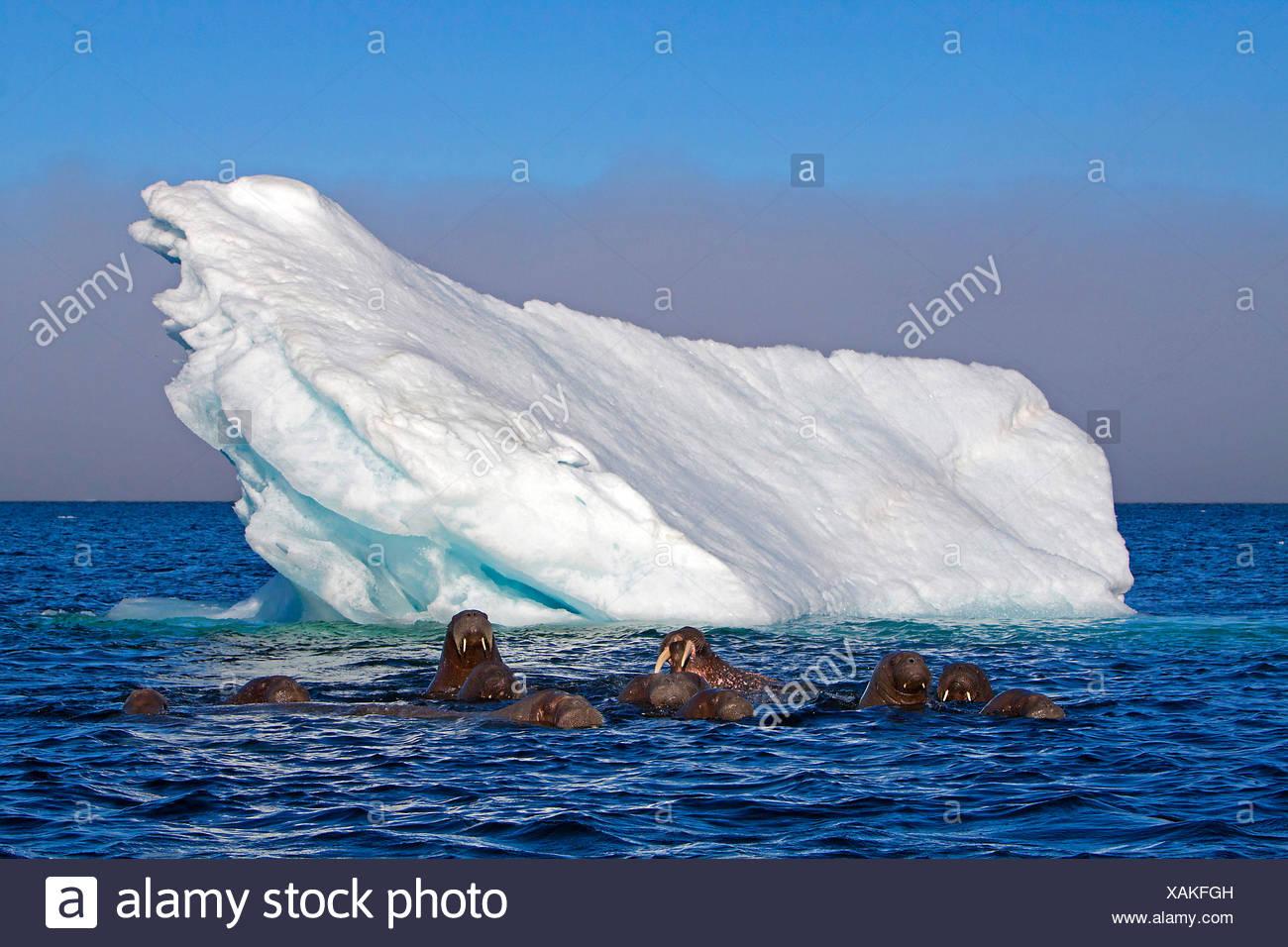 walrus (Odobenus rosmarus), walruses in the Arctic Ocean with iceberg, Norway, Svalbard Stock Photo