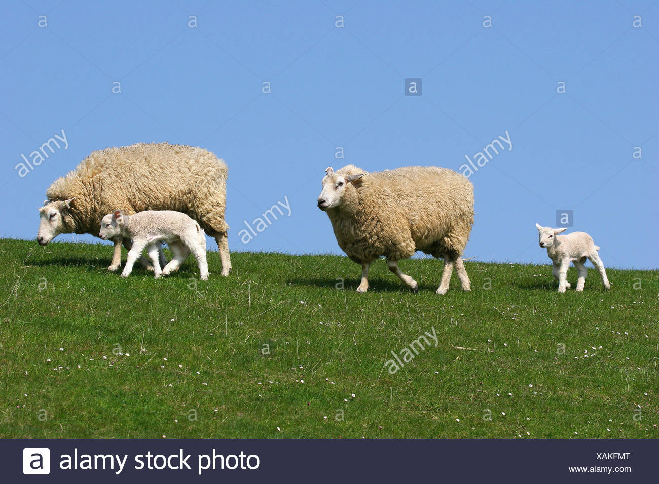 Sheep (Ovis ammon f.aries), ewes and lambs on a dyke, Schleswig-Holstein, Germany - Stock Image