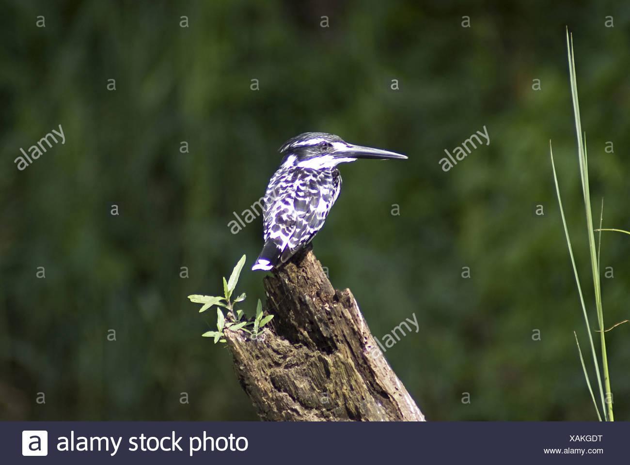 Pied Kingfisher (Ceryle rudis) is a kingfisher in the near passerine bird family Cerylidae, Ranganathittu Bird Sanctuary, Mysore - Stock Image