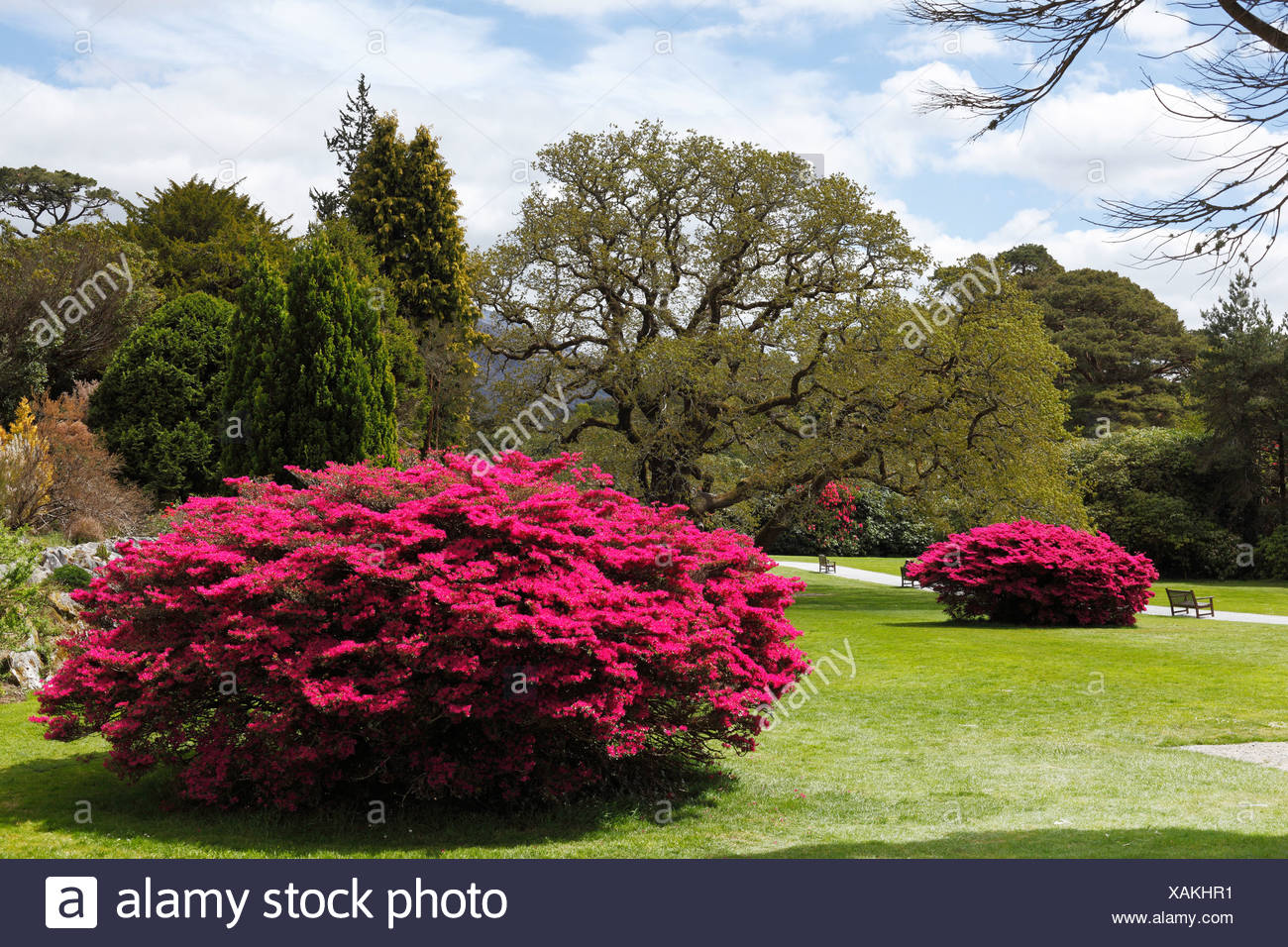 Muckross Gardens in spring, blossoming rhododendron bushes, Killarney National Park, County Kerry, Ireland, British Isles - Stock Image