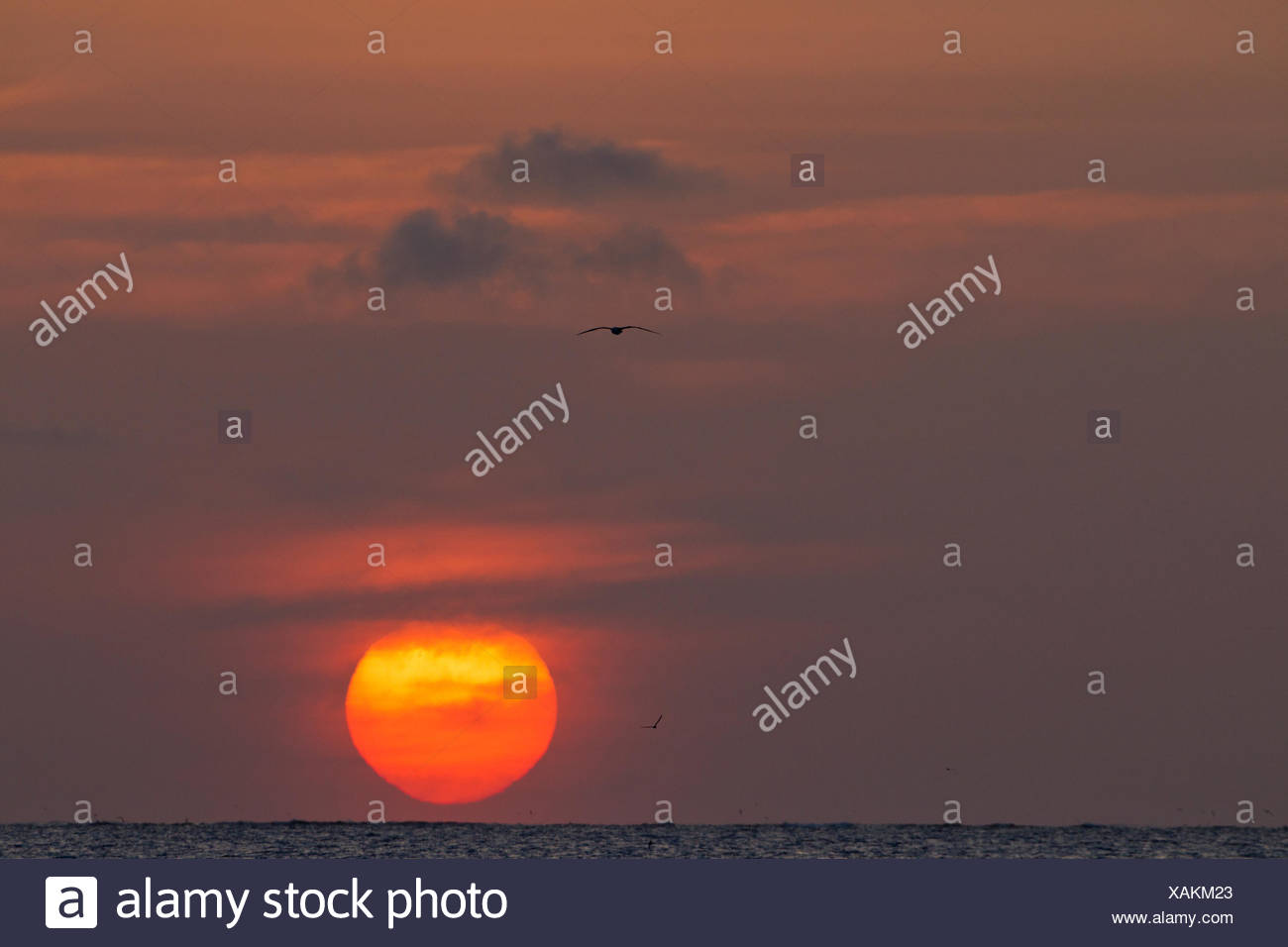 Sunset with flying albatross (Phoebastria spp.), Sand Island, Midway Atoll National Wildlife Refuge, Northwest Hawaiian Islands. - Stock Image