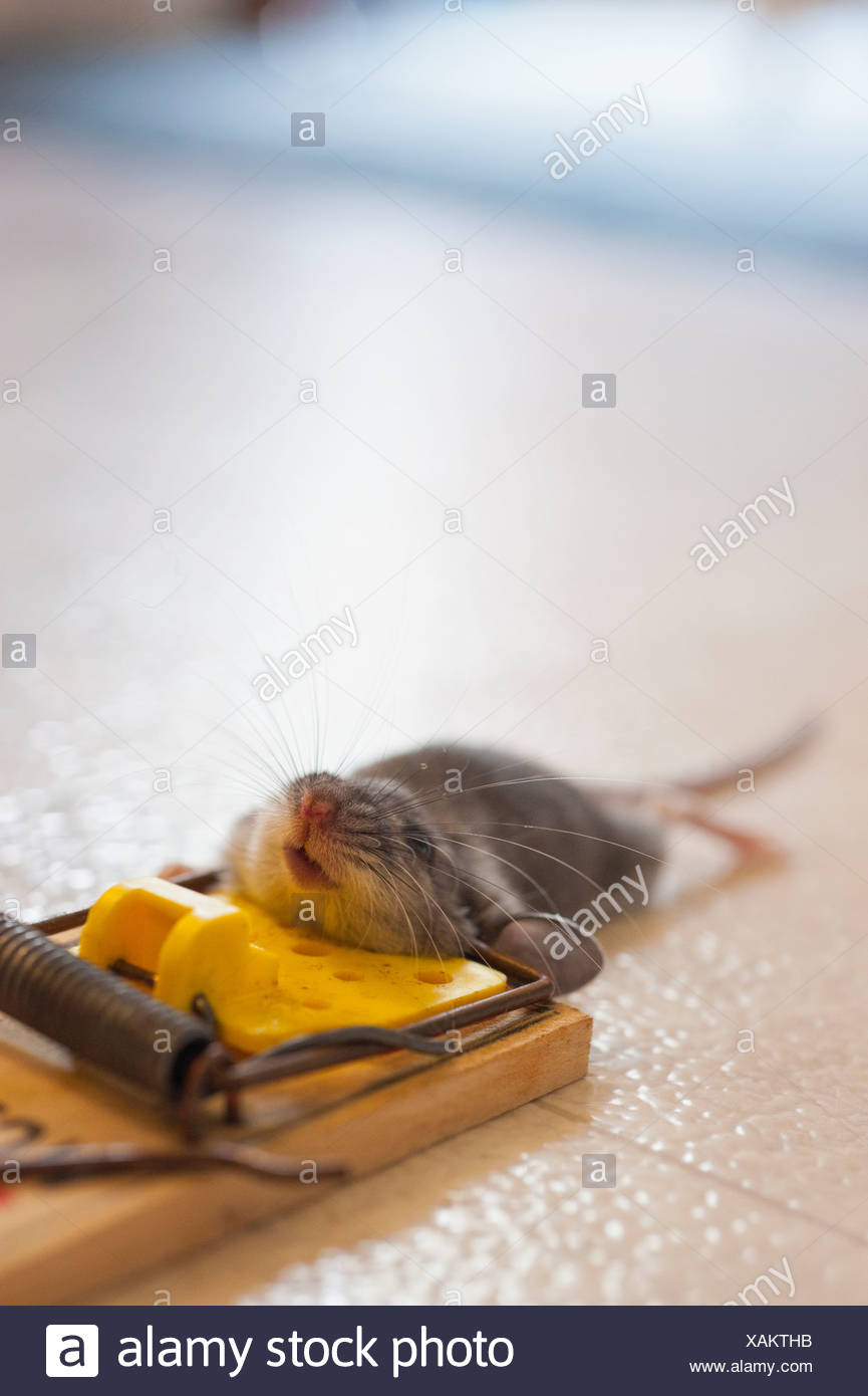 Mouse caught in trap, close up - Stock Image