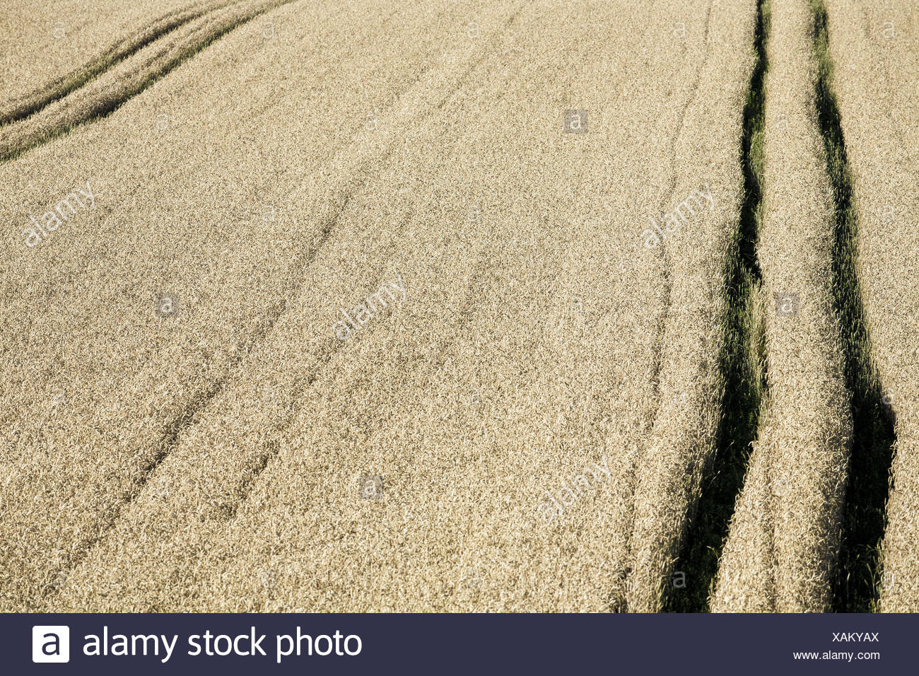dry field - Stock Image