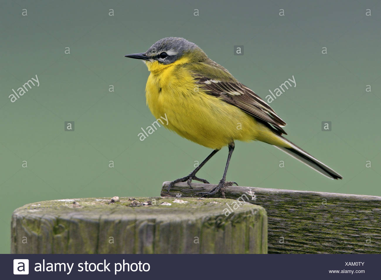 Blue-headed Wagtail, Yellow Wagtail (Motacilla flava flava), sitting on pile, Netherlands, Texel - Stock Image