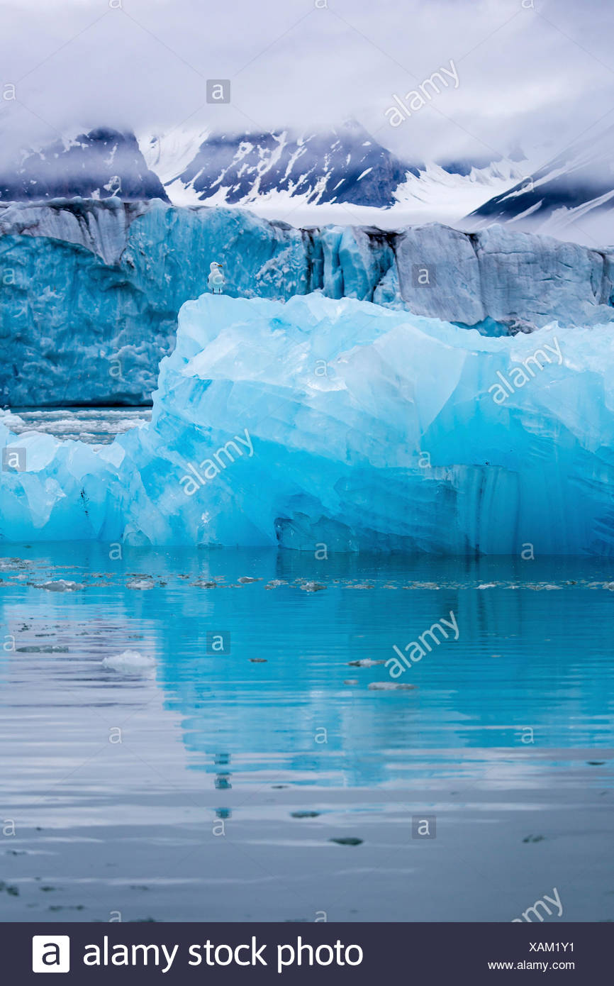 blue iceberg with seagull, Norway, Svalbard, Liefdefjorden - Stock Image