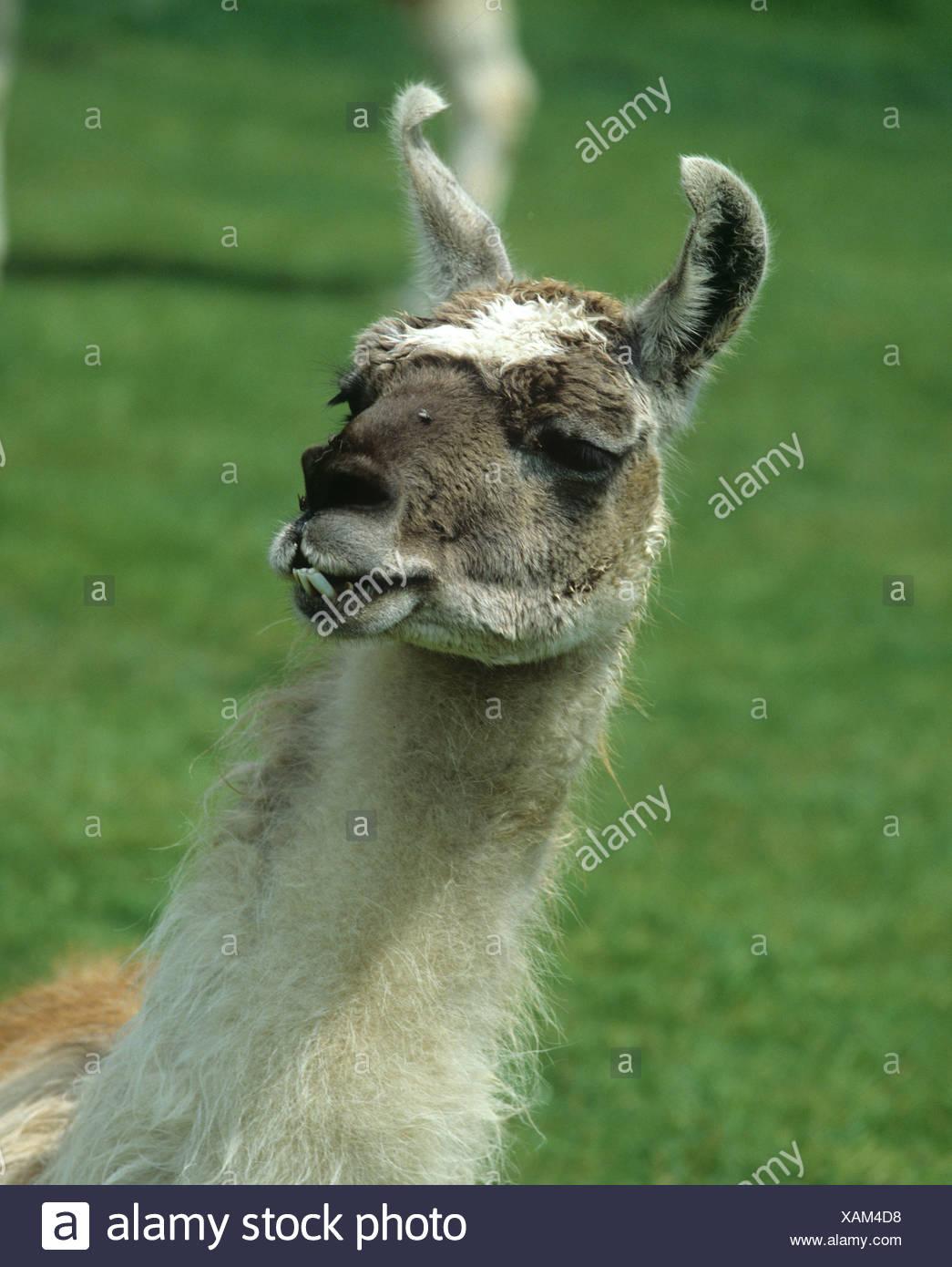 Elderley female llama with protruding lower teeth Sussex - Stock Image