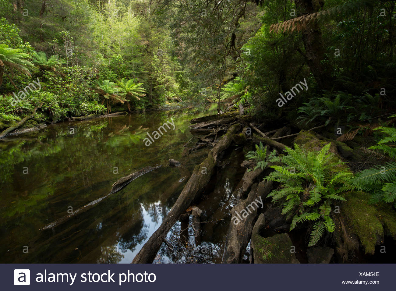 The tannin stained waters of the Styx River flows through a forest of ferns and tall trees. Stock Photo