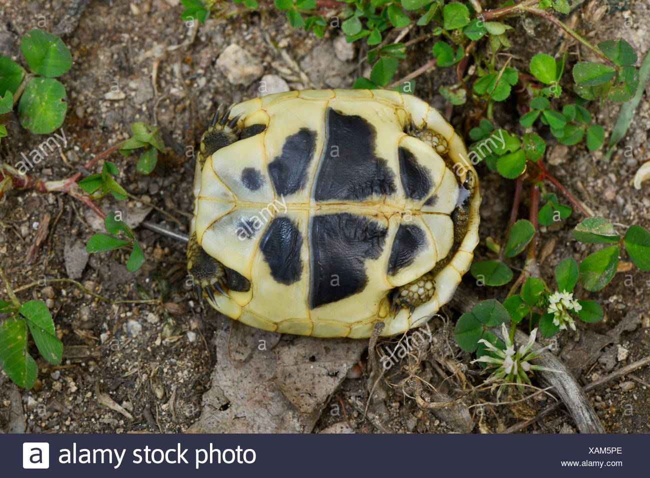 Hermanns tortoise, Greek tortoise, Boettgers tortoise (Testudo hermanni boettgeri), underside (plastron) of a young Greek toirtoise, Bulgaria, Pirin-Gebirge Stock Photo