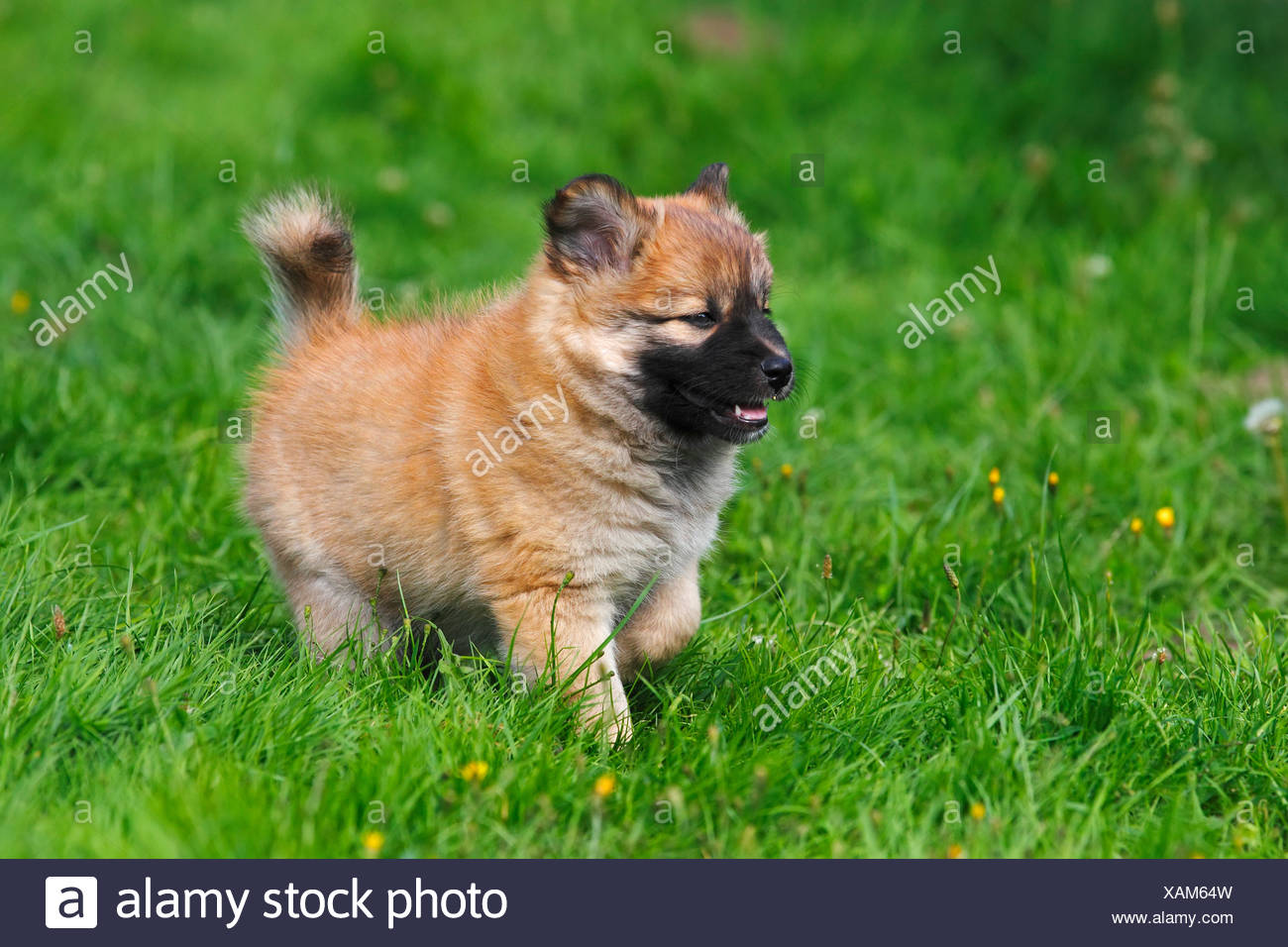 Puppy, Icelandic Sheepdog (Canis lupus familiaris) - Stock Image