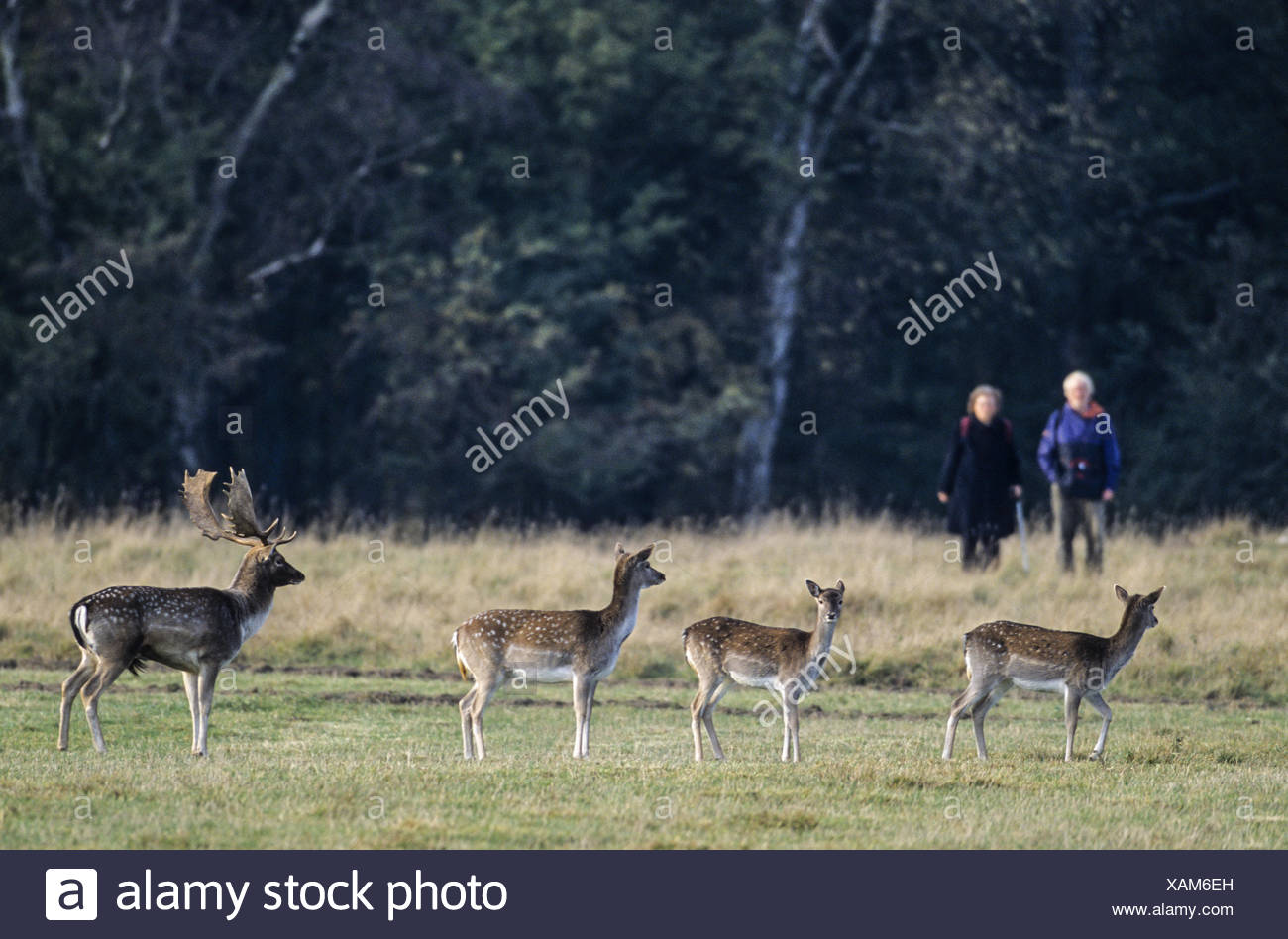 Walkers meet Fallow Deers / Jaegersborg Stock Photo