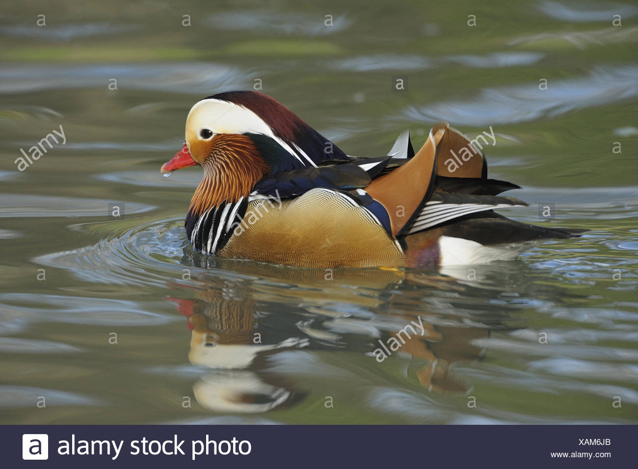 Mandarin duck, Aix galericulata, male, water, game park, animal park, waters, animals, wild animals, birds, water birds, goose's birds, anatids, brightness ducks, Asian, East Asian, swimming ducks, ducks, drake, little man, manly, plumage, brightly, colourfully, admirably, swim, nature, Wildlife, preview, Stock Photo
