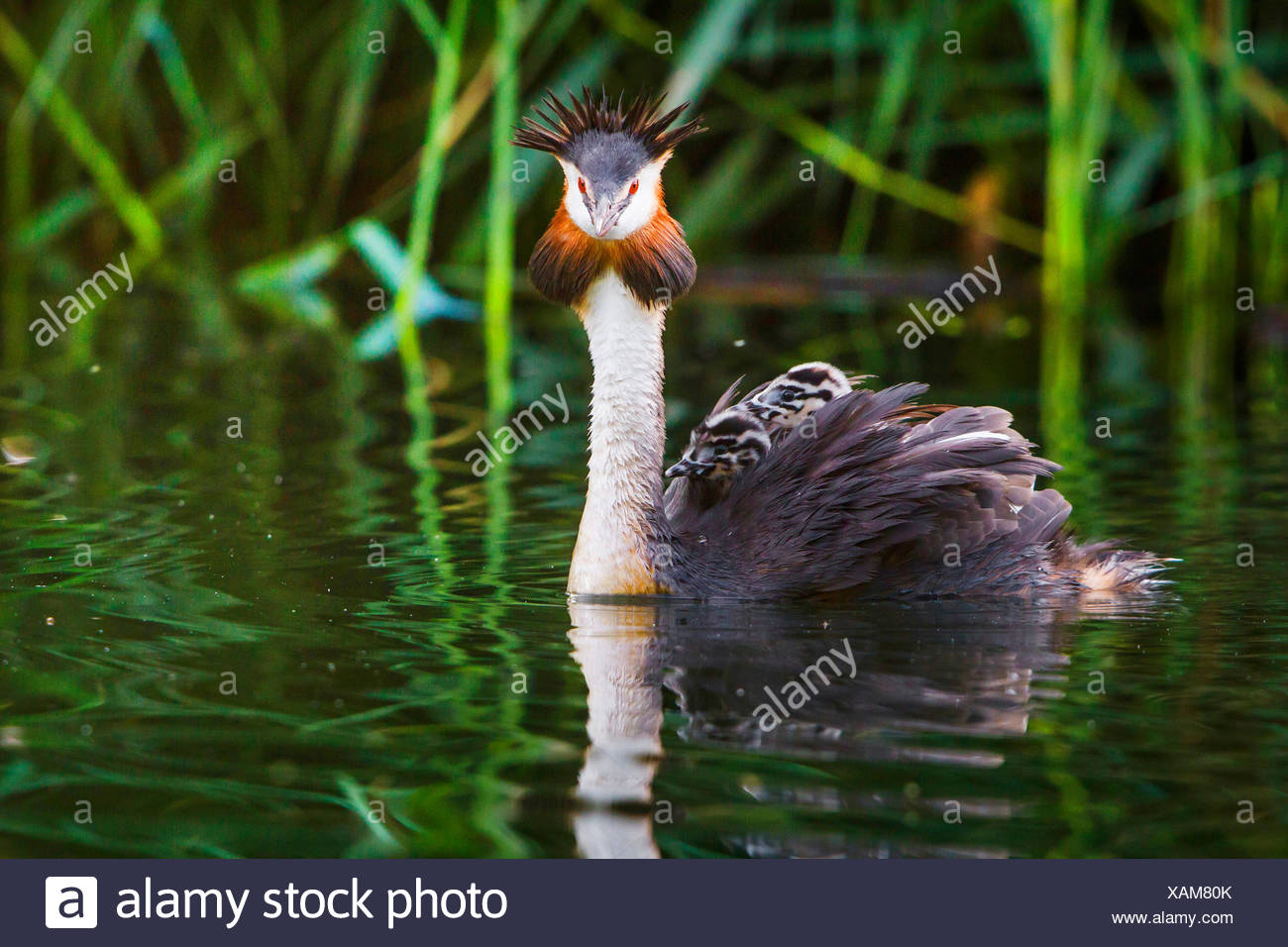great crested grebe (Podiceps cristatus), swims with two chicks on its back, Switzerland, Lake Constance - Stock Image