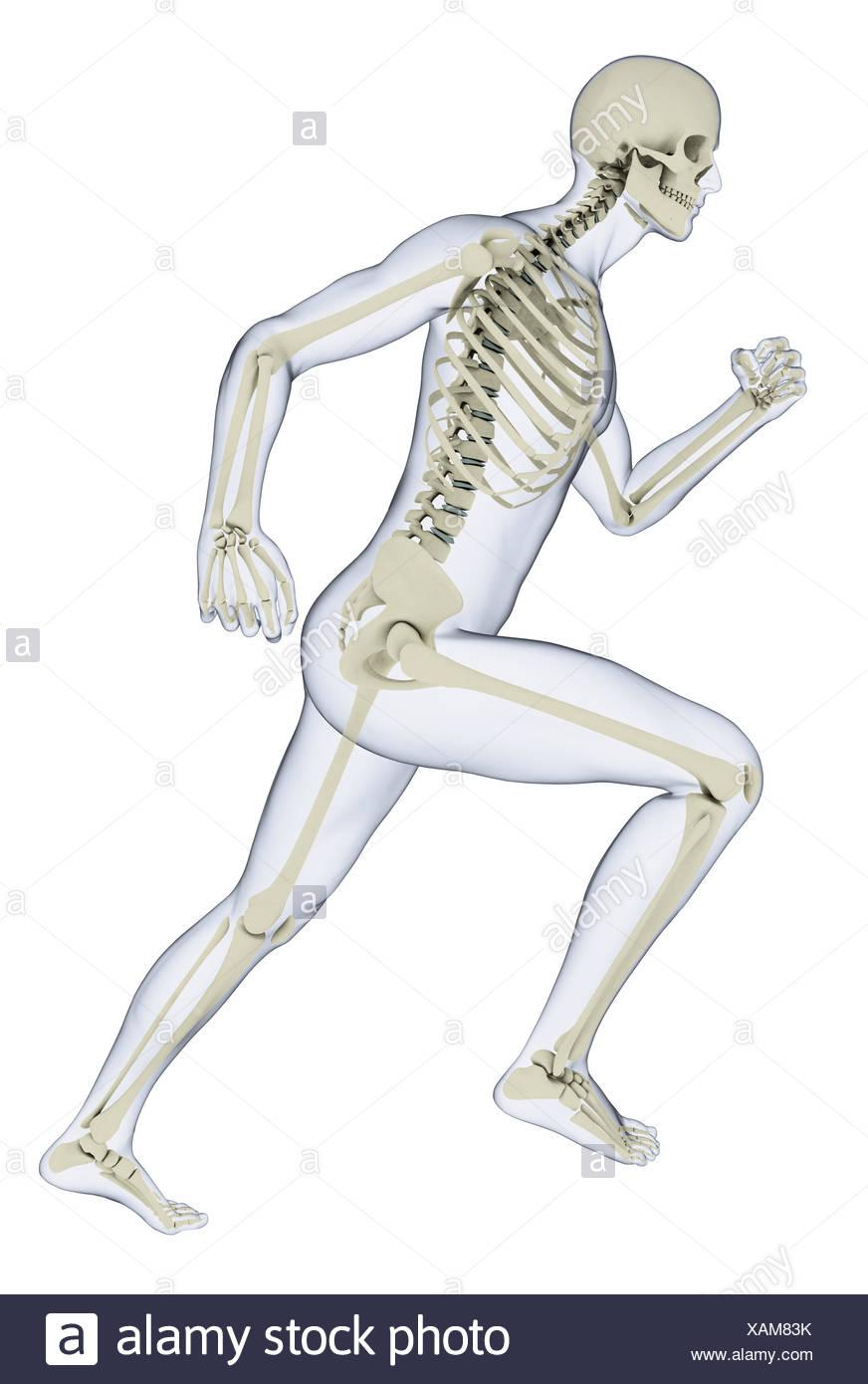 Human skeleton in running position, illustration Stock Photo