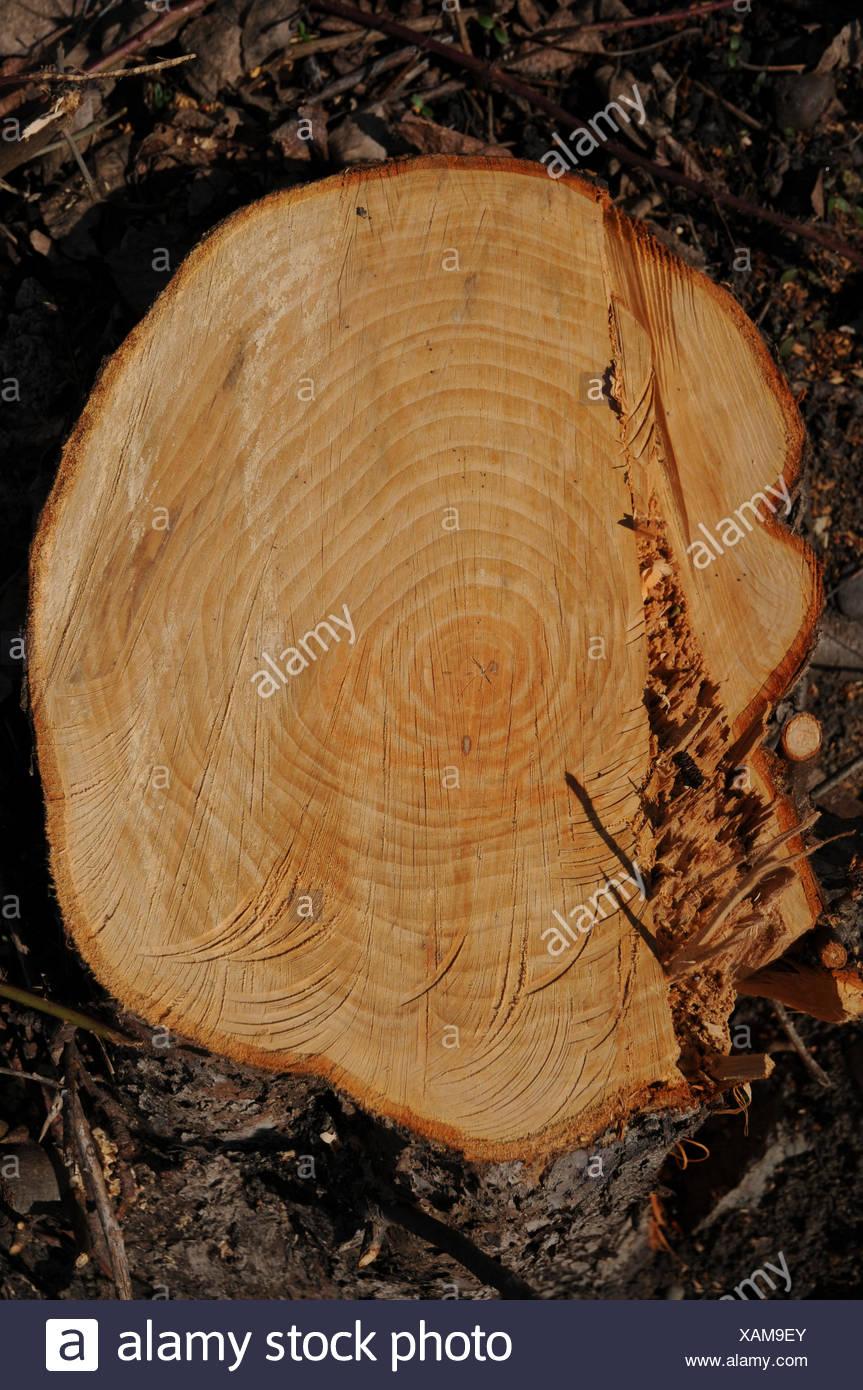 Apple tree, stump Stock Photo