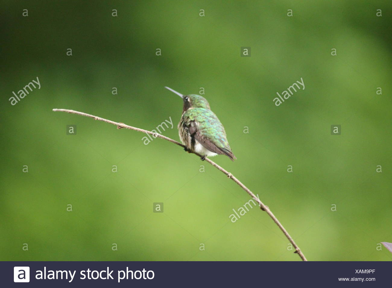 Humming bird perching on twig Stock Photo