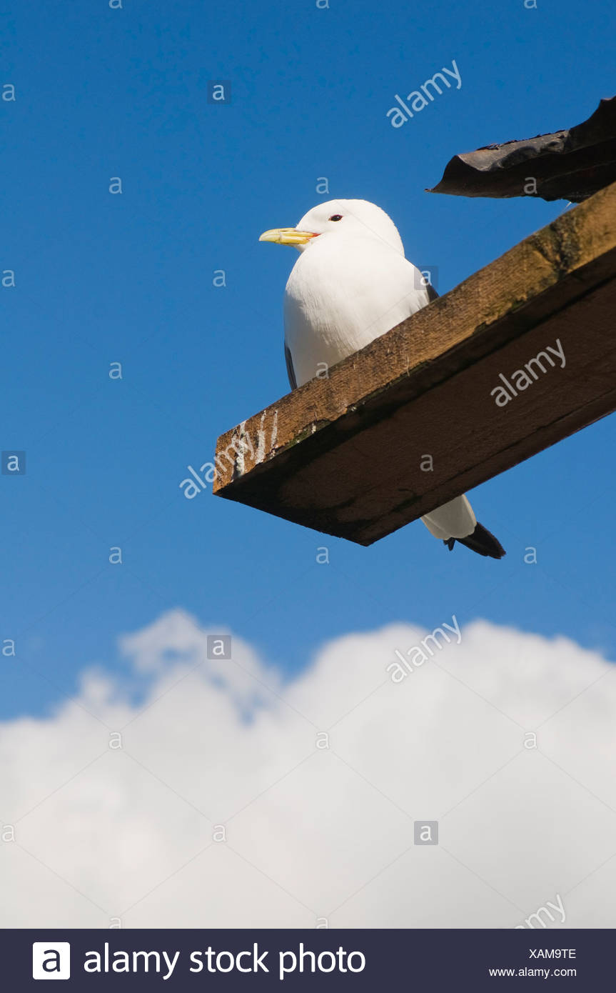 Low angle view of gull on wooden plank against blue sky and clouds - Stock Image