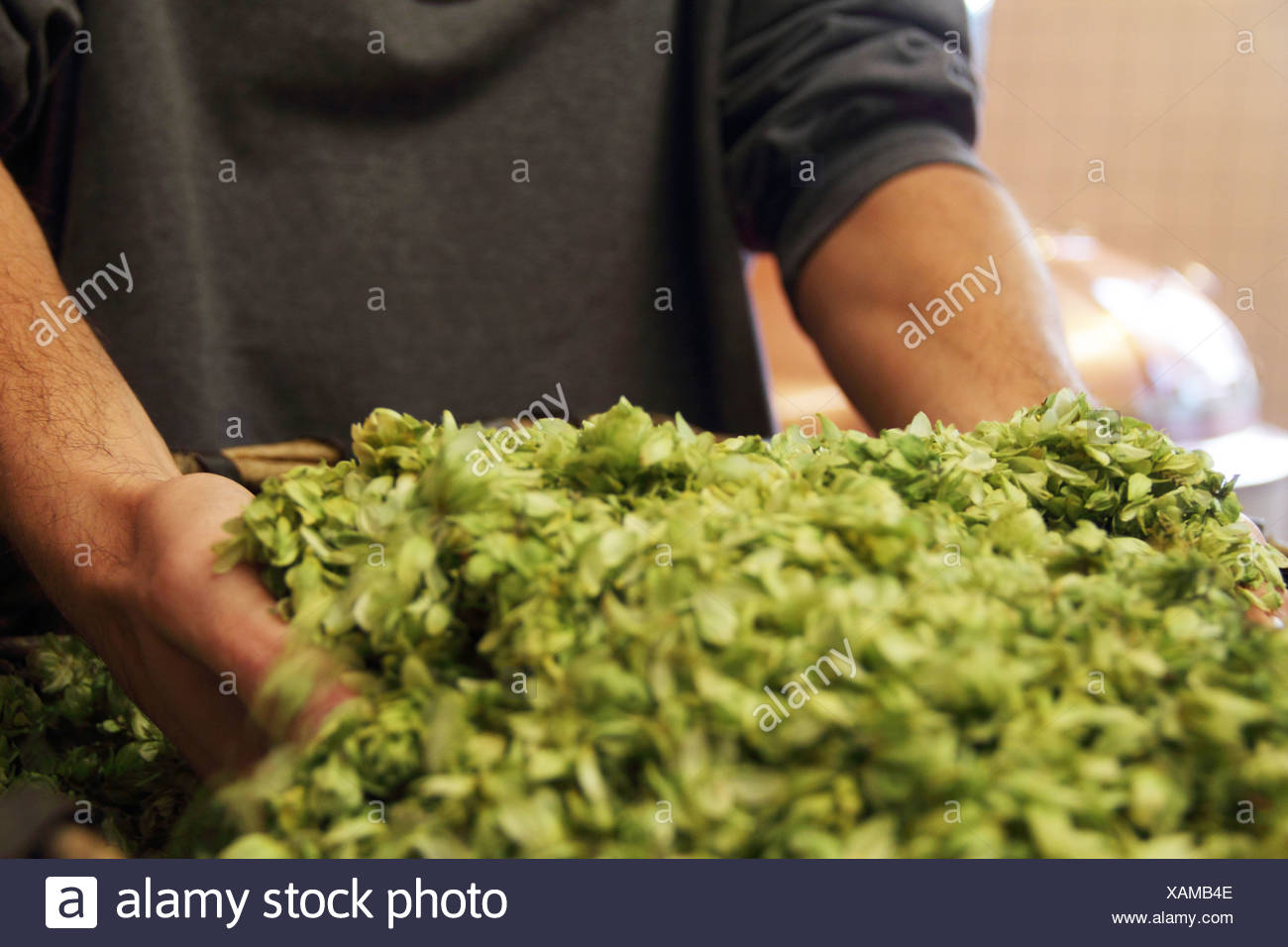 Man holding hops in brewery - Stock Image