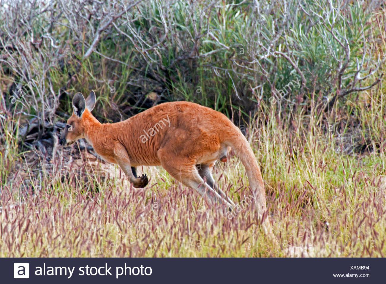red kangaroo, plains Kangaroo, blue flier (Macropus rufus, Megaleia rufa), jumping in the shrubbery, Australia, Western Australia - Stock Image