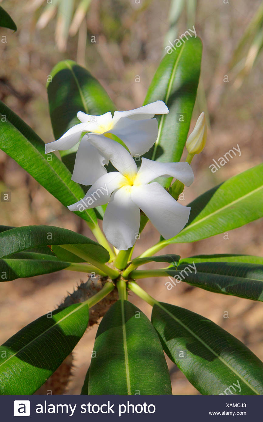 madagascar palm (Pachypodium lamerii), plant with blossom, Madagascar - Stock Image
