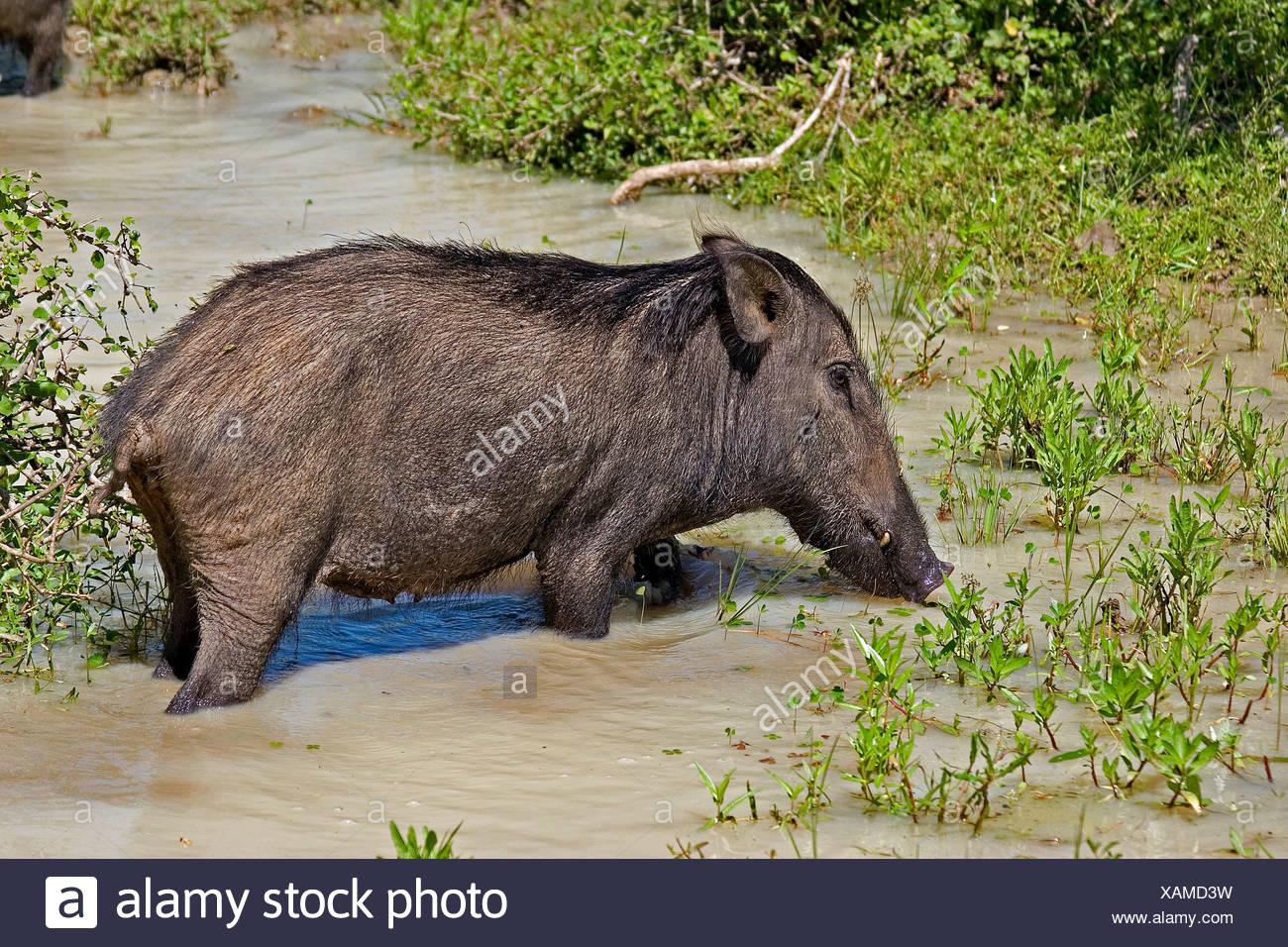 Wild boar sus scrofa Sri Lanka - Stock Image