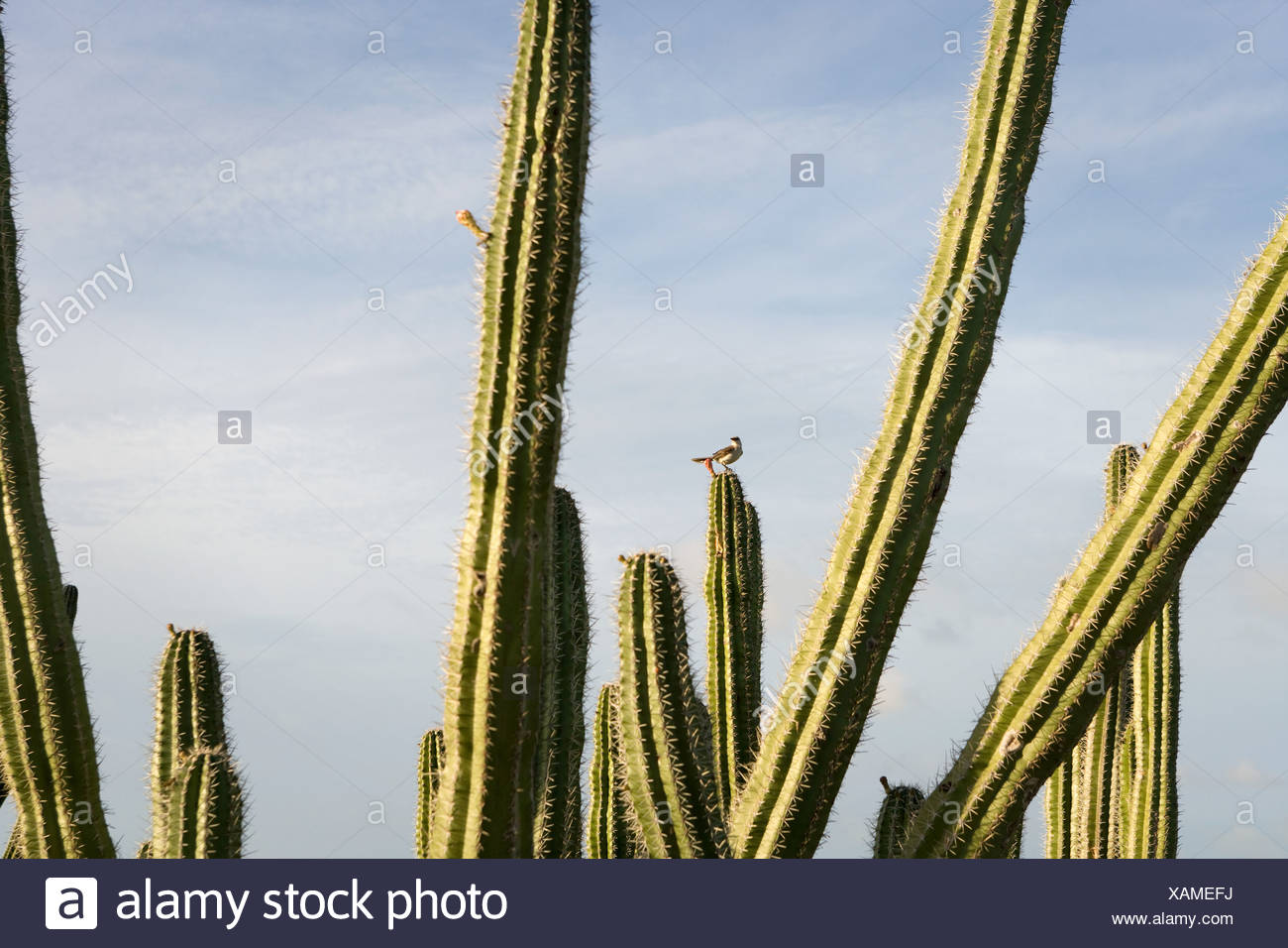 Bird on cactus - Stock Image