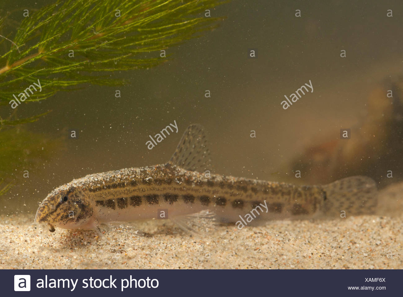 spined loach on sand bottom Stock Photo