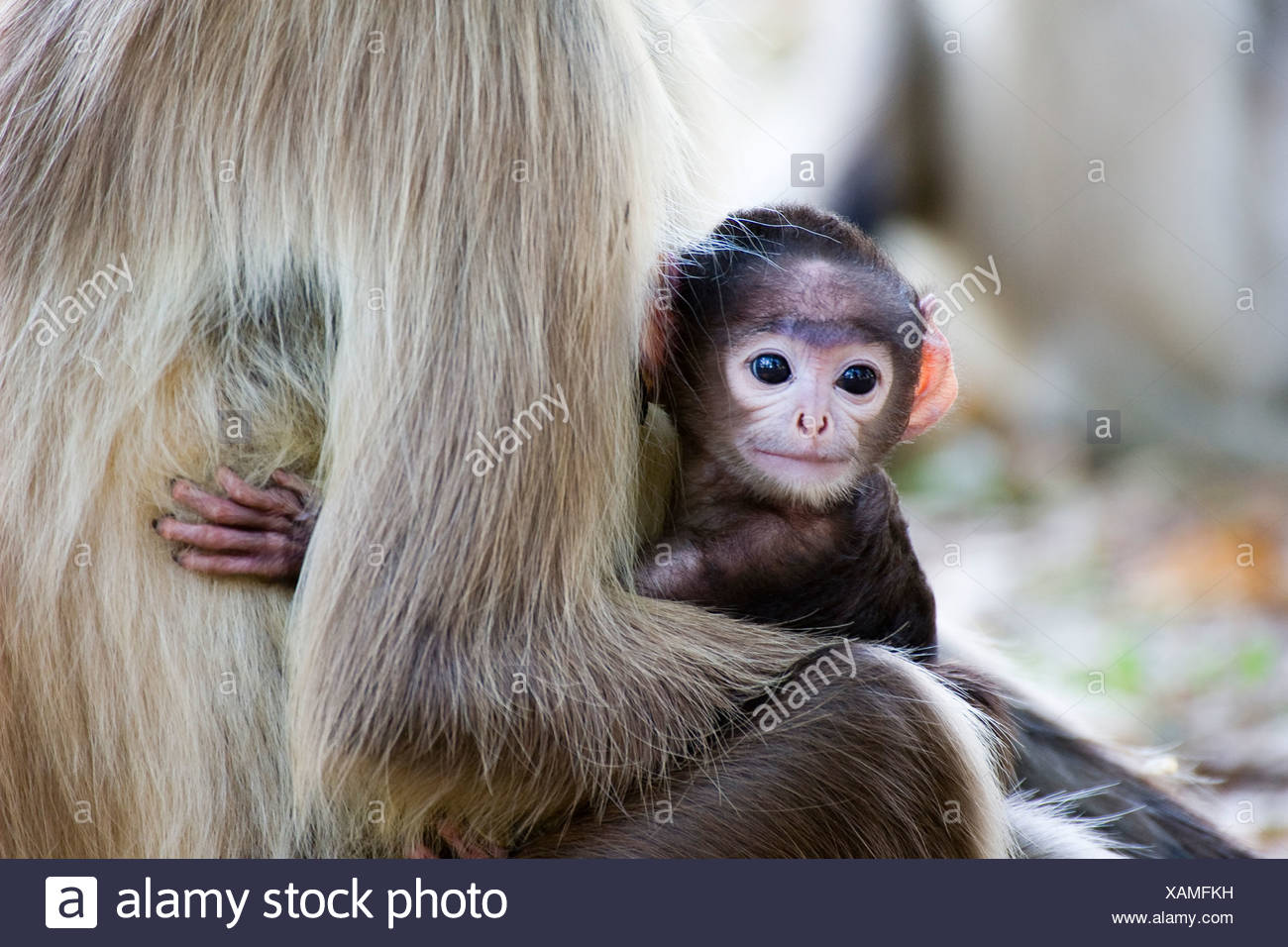A ape with her baby - Stock Image