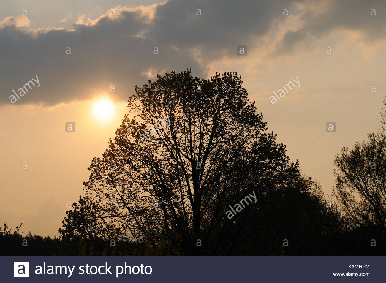 Hill scenery, tree, lime-tree, spring, Austria, - Stock Image
