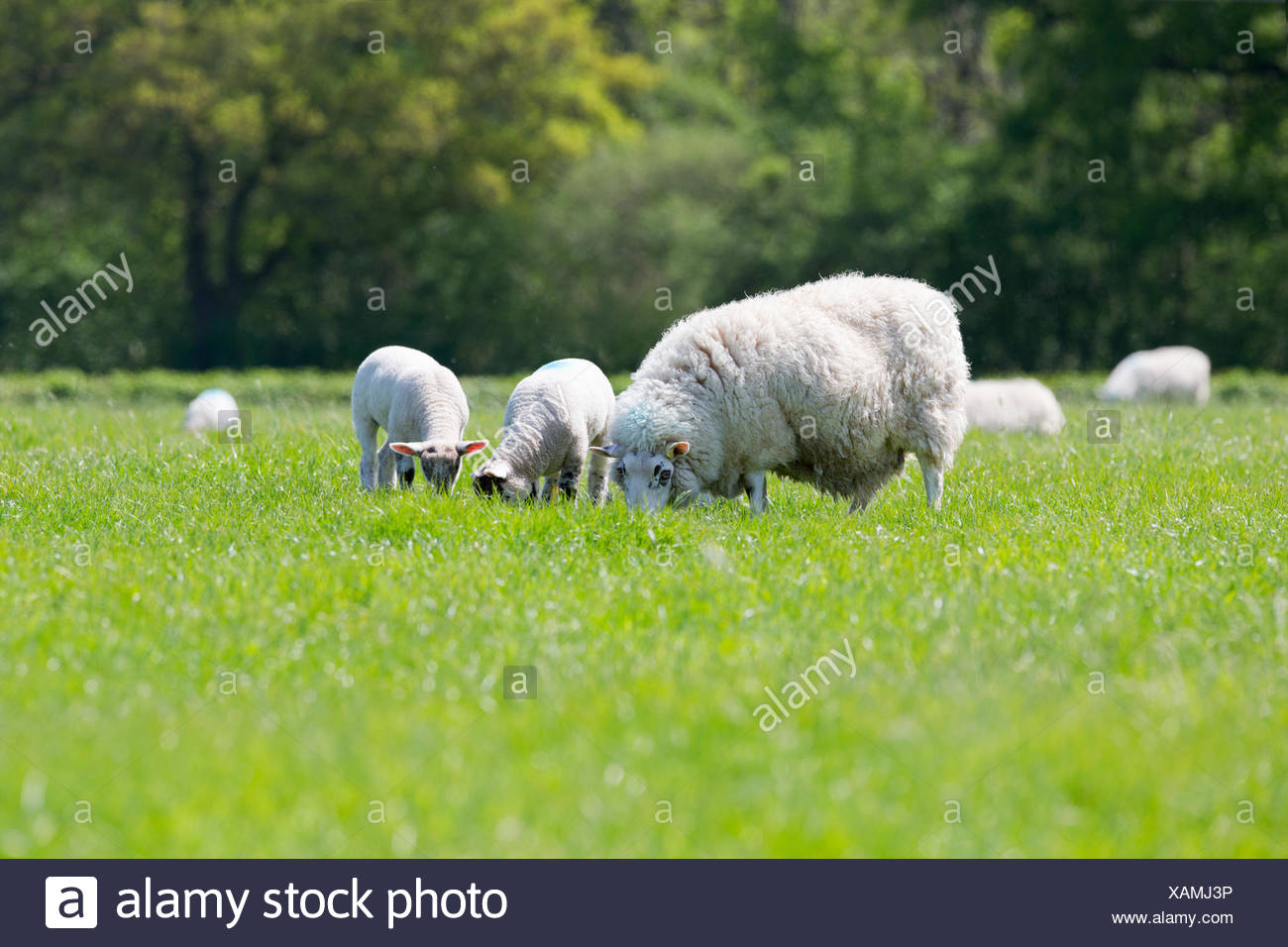 Sheep and lambs grazing in sunny green spring field - Stock Image