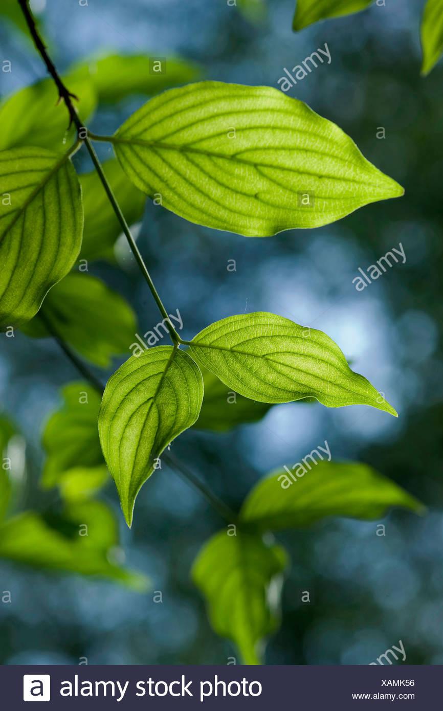 cornelian cherry wood (Cornus mas), twig, Germany - Stock Image