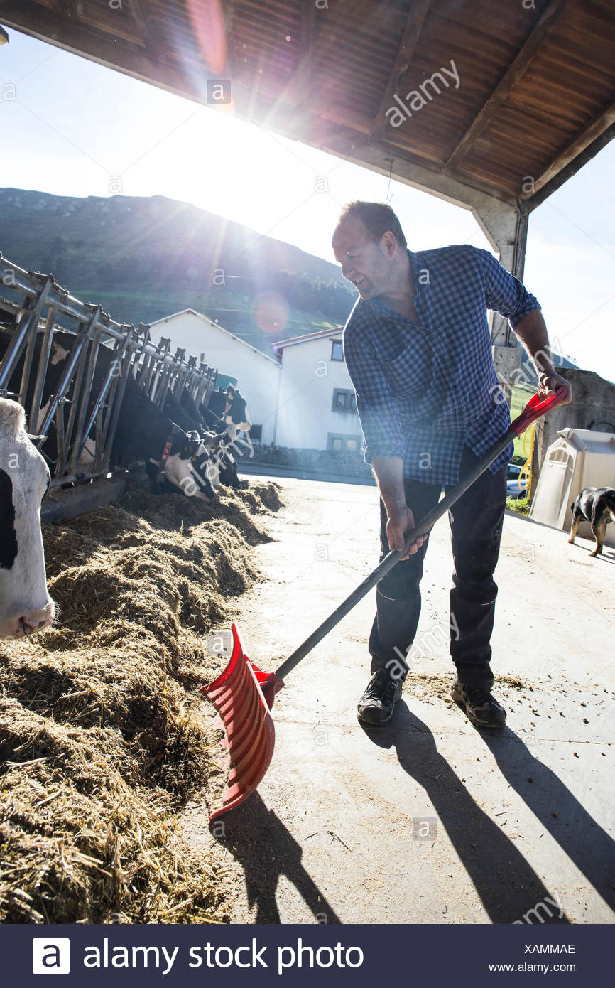 Farmer using a shovel to bring food closer to the cows on a farm - Stock Image