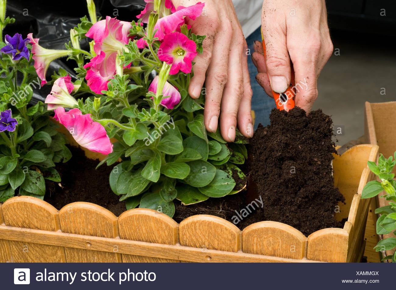 Balkonbepflanzung Planting Petunias Stock Photo 281967642 Alamy