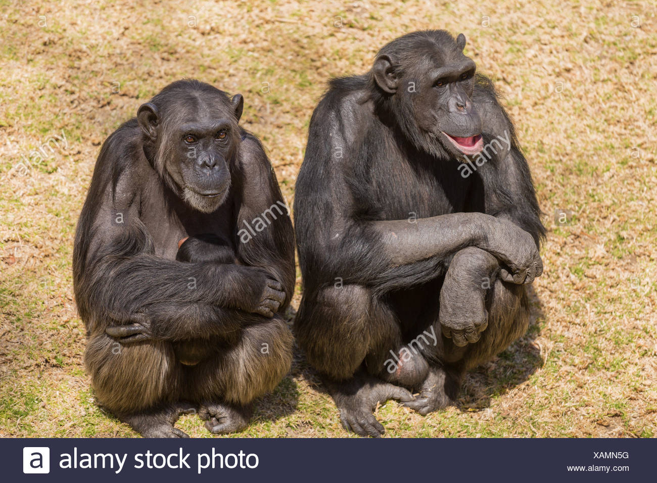animal africa wildlife safari animal mammal wild monkey black swarthy jetblack deep black wildlife chimpanzee nature ape chimp - Stock Image