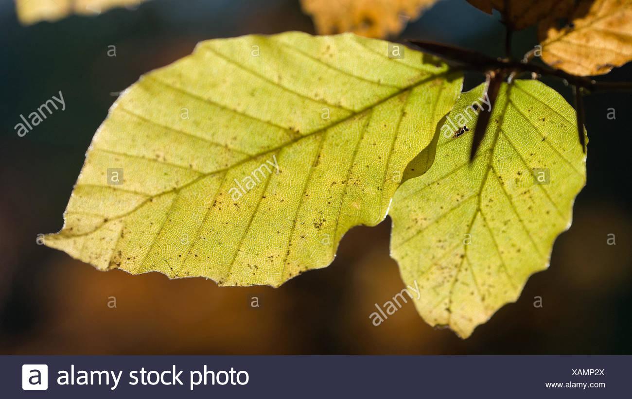 Tree,Leaf,beech,beech sheet,Fagus sylvatica,flora,foliage,foliage,nature,wood,forest, - Stock Image