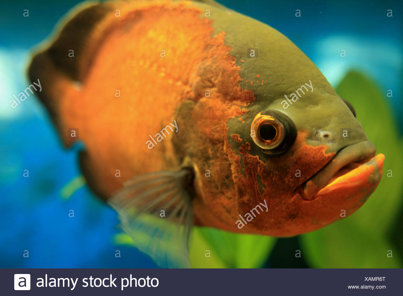 Adult oscar fish mine very