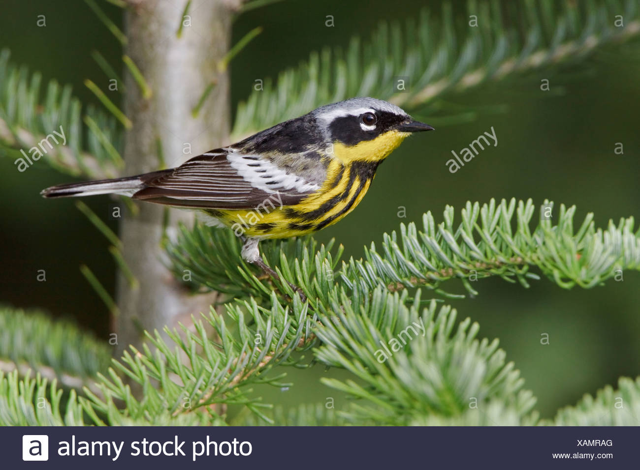 Magnolia Warbler (Dendroica magnolia) perched on a spruce branch near Huntsville, Ontario Canada. - Stock Image