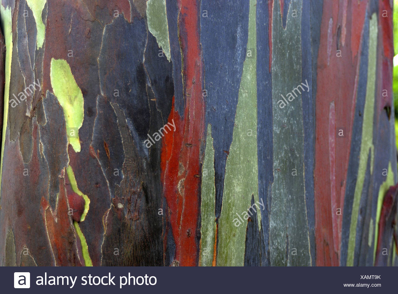 Close-up of the rainbow bark of the eucalyptus tree, (eucalyptus deglupta), introduced to Hawaii from the Philippines in 1929. - Stock Image