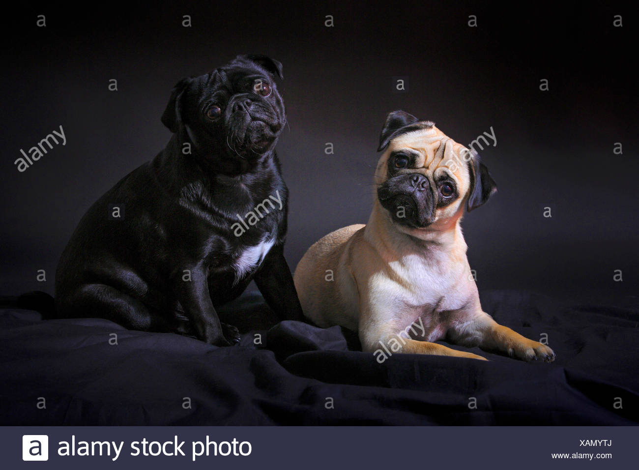 Pug (Canis lupus f. familiaris), black pug and fawn pug together on a black blanket and keeping their heads tilted - Stock Image