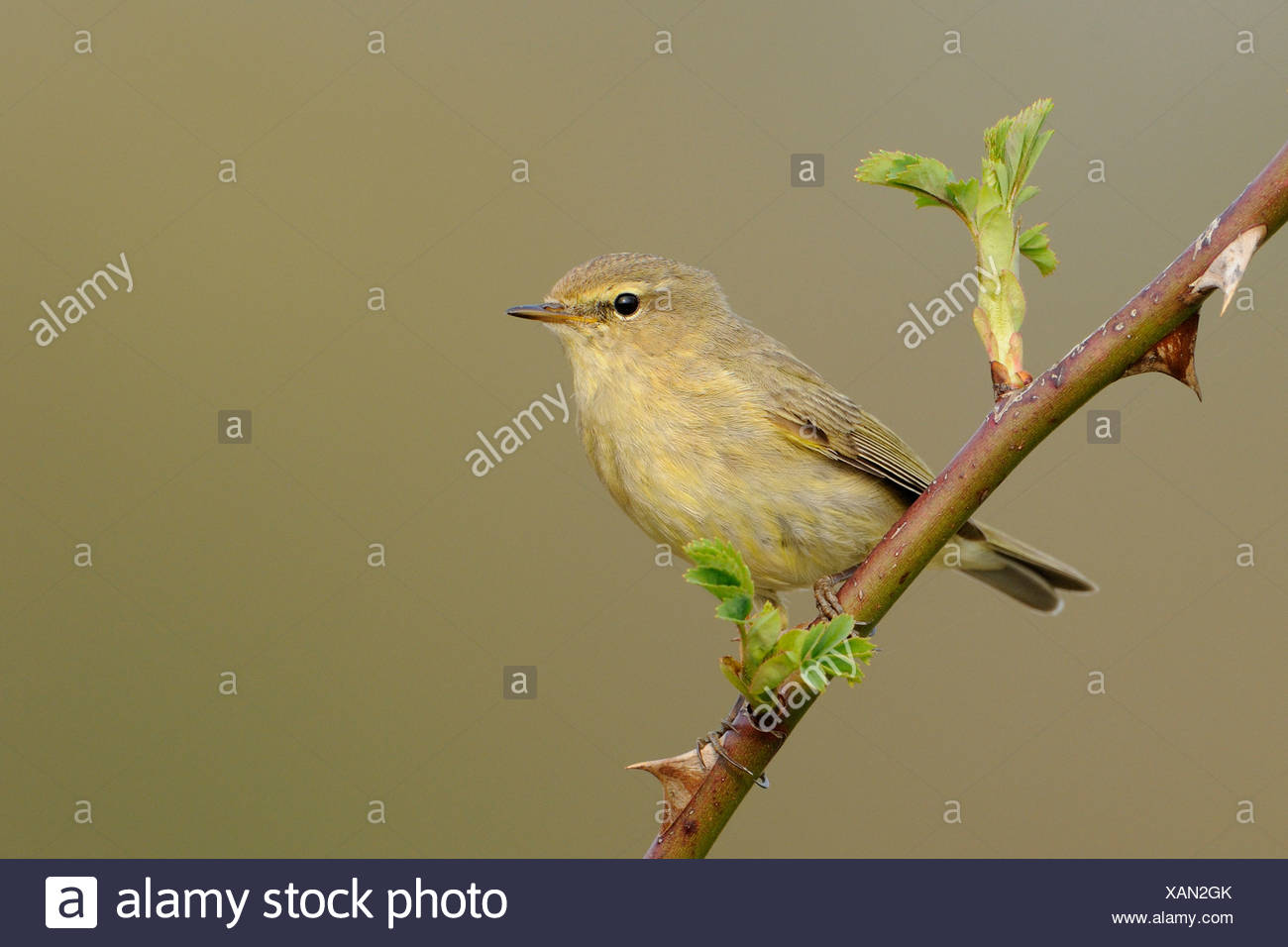 Tjiftjaf op uitlopende tak van een wilde roos; Chiffchaff perched on a branch of a wild rose Stock Photo