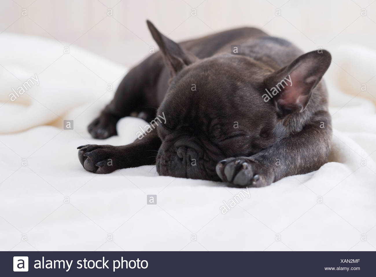 French bulldog sleeping on a blanket - Stock Image